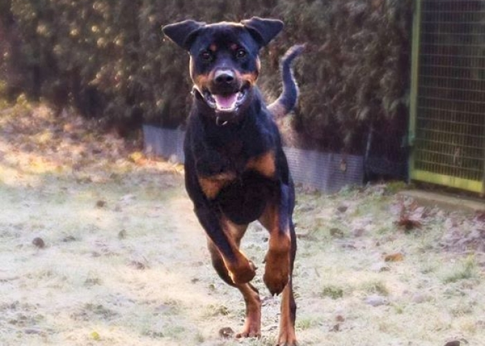 Hund, Dobermann-Mix, Riley, Tierheim Burgdorf
